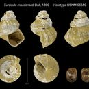 Image of <i>Turcicula macdonaldi</i> Dall 1890