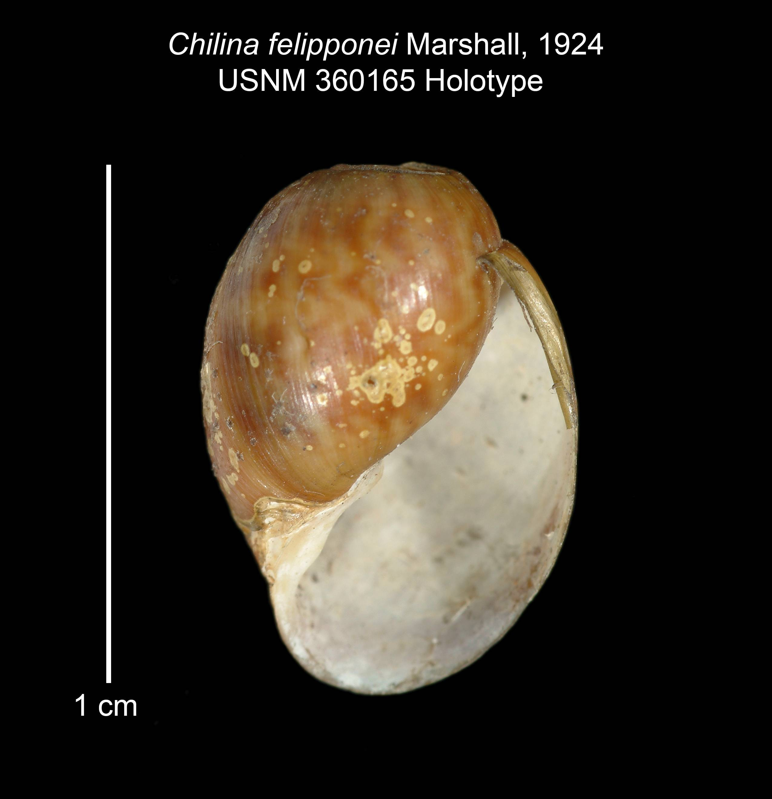 Image of <i>Chilina felipponei</i> W. B. Marshall 1924