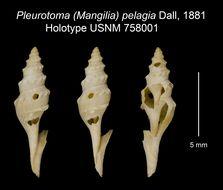 Image of <i>Leucosyrinx pelagia</i> (Dall 1881)