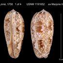 Image of <i>Oliva porphyria</i> (Linnaeus 1758)