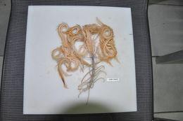 Image of Endoxocrinus subgen. Endoxocrinus AH Clark 1908