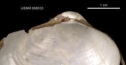 Image of <i>Pholadomya adelaidis</i> (Hedley 1916)