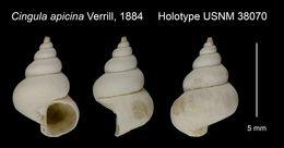 Image of <i>Cingula apicina</i> Verrill 1884