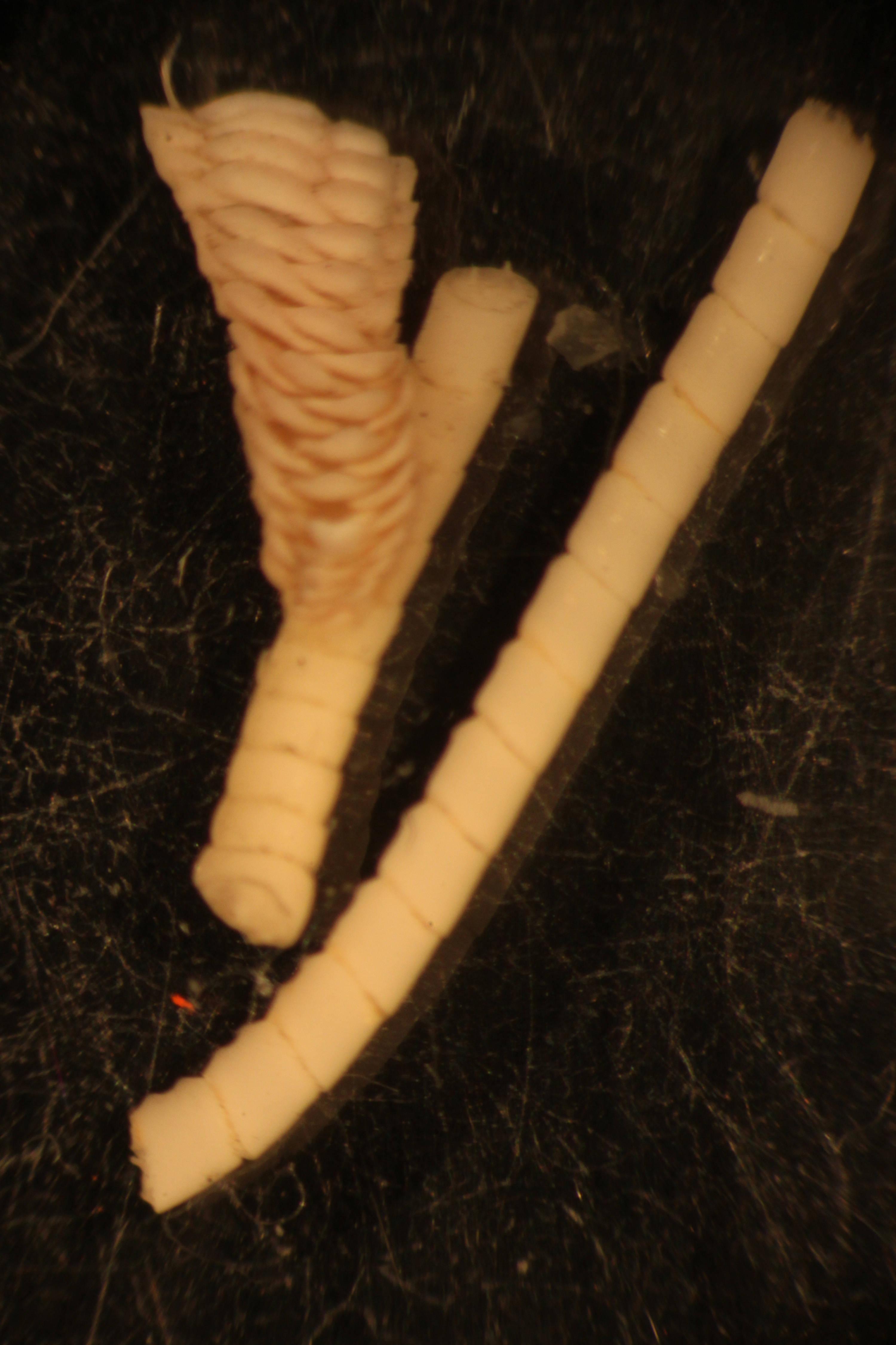 Image of <i>Trianguloscalpellum pentacrinarum</i> (Pilsbry 1907)