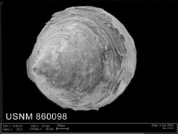 Image of <i>Lepetella postapicula</i> Dell 1990