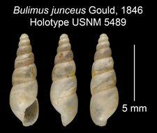 Image of <i>Bulimus junceus</i> Gould 1846