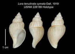 Image of <i>Lora tenuilirata</i> ssp. <i>cymata</i> Dall