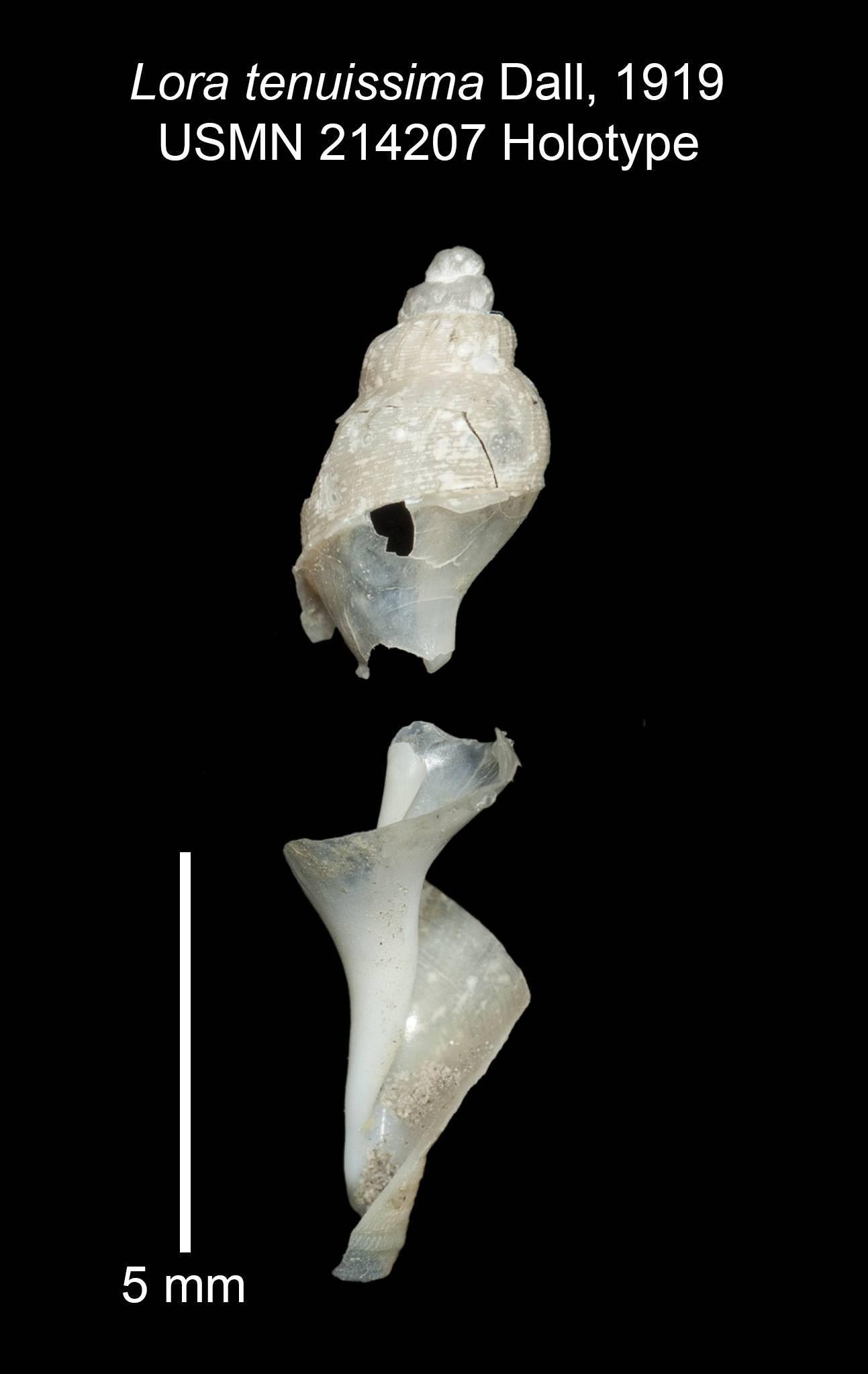 Image of <i>Lora tenuissima</i> Dall