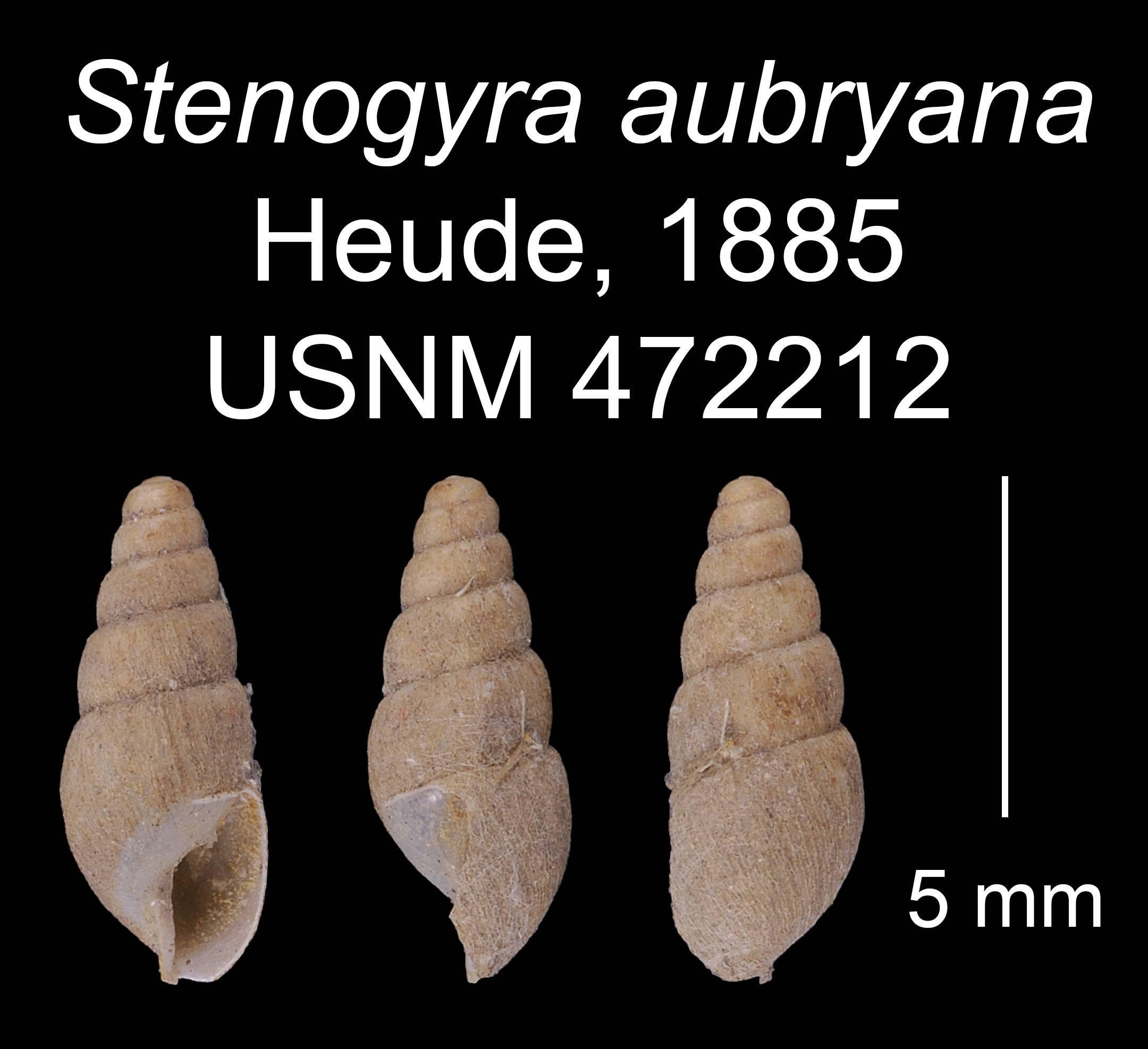 Image of <i>Prosopeas aubryana</i>