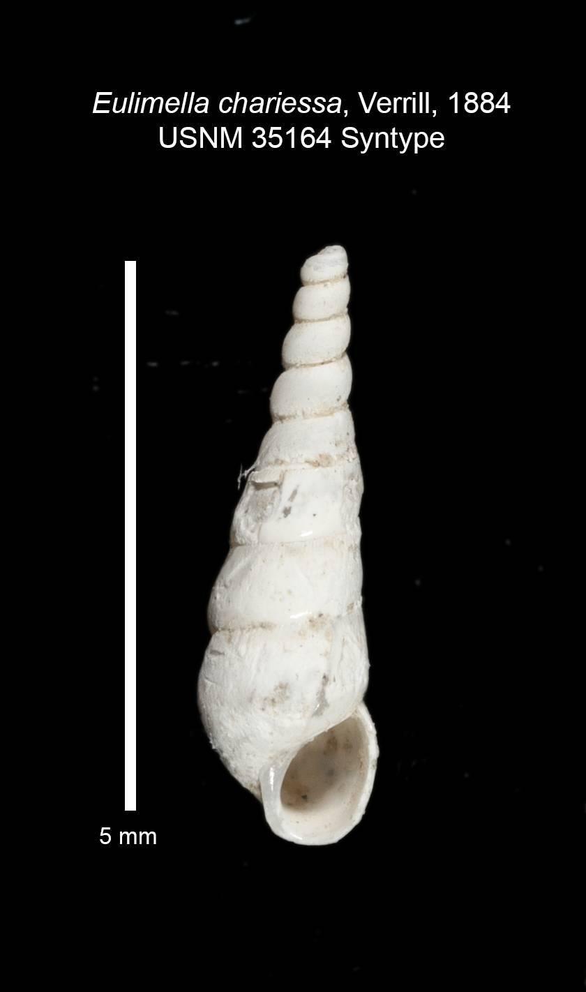 Image of <i>Melanella chariessa</i> (A. E. Verrill 1884)