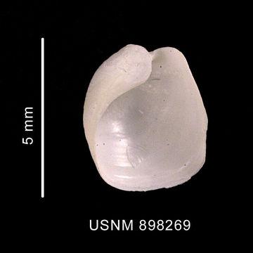 Image of <i>Philine alata</i> Thiele 1912