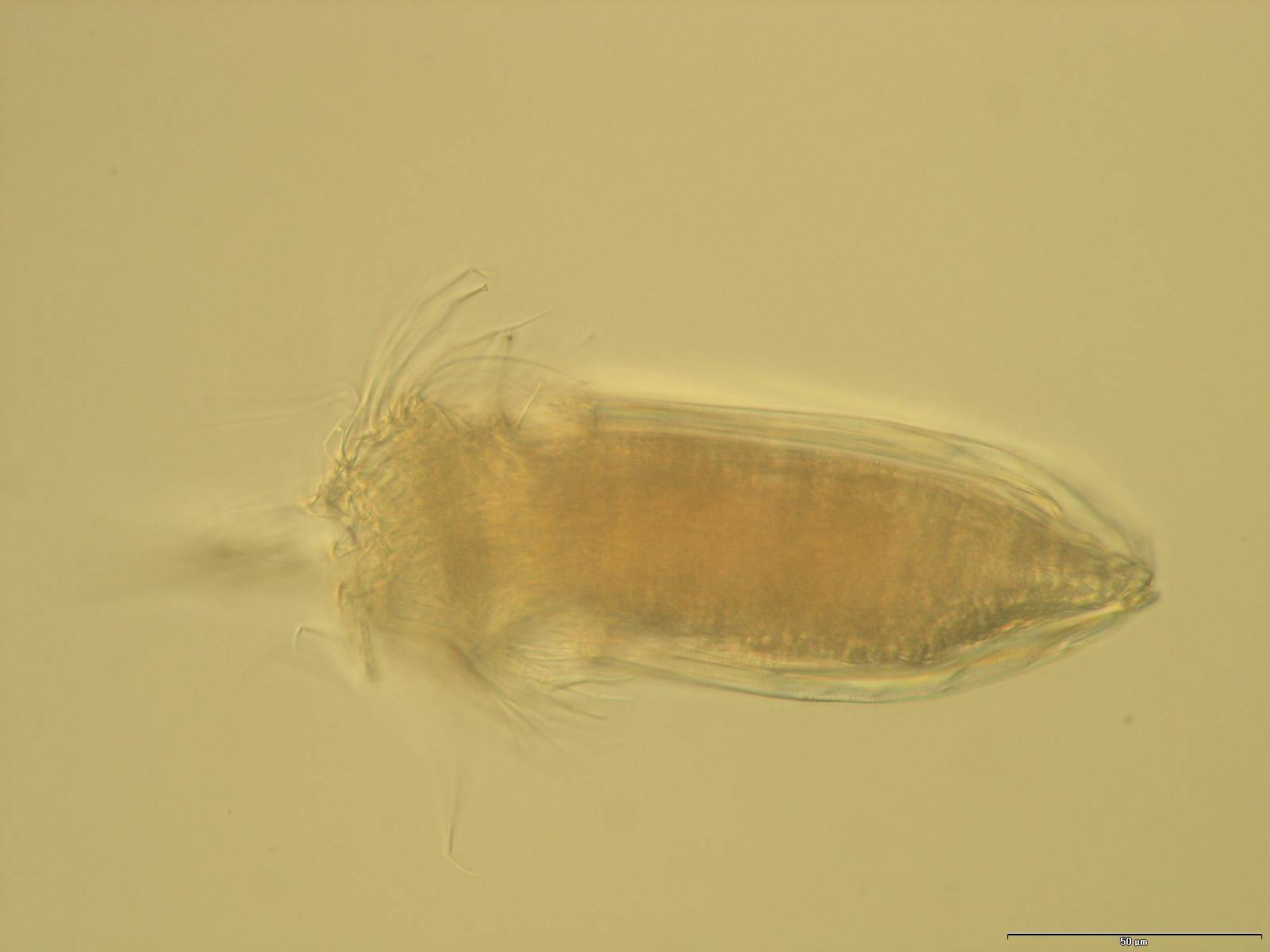 Image of <i>Spinoloricus</i>