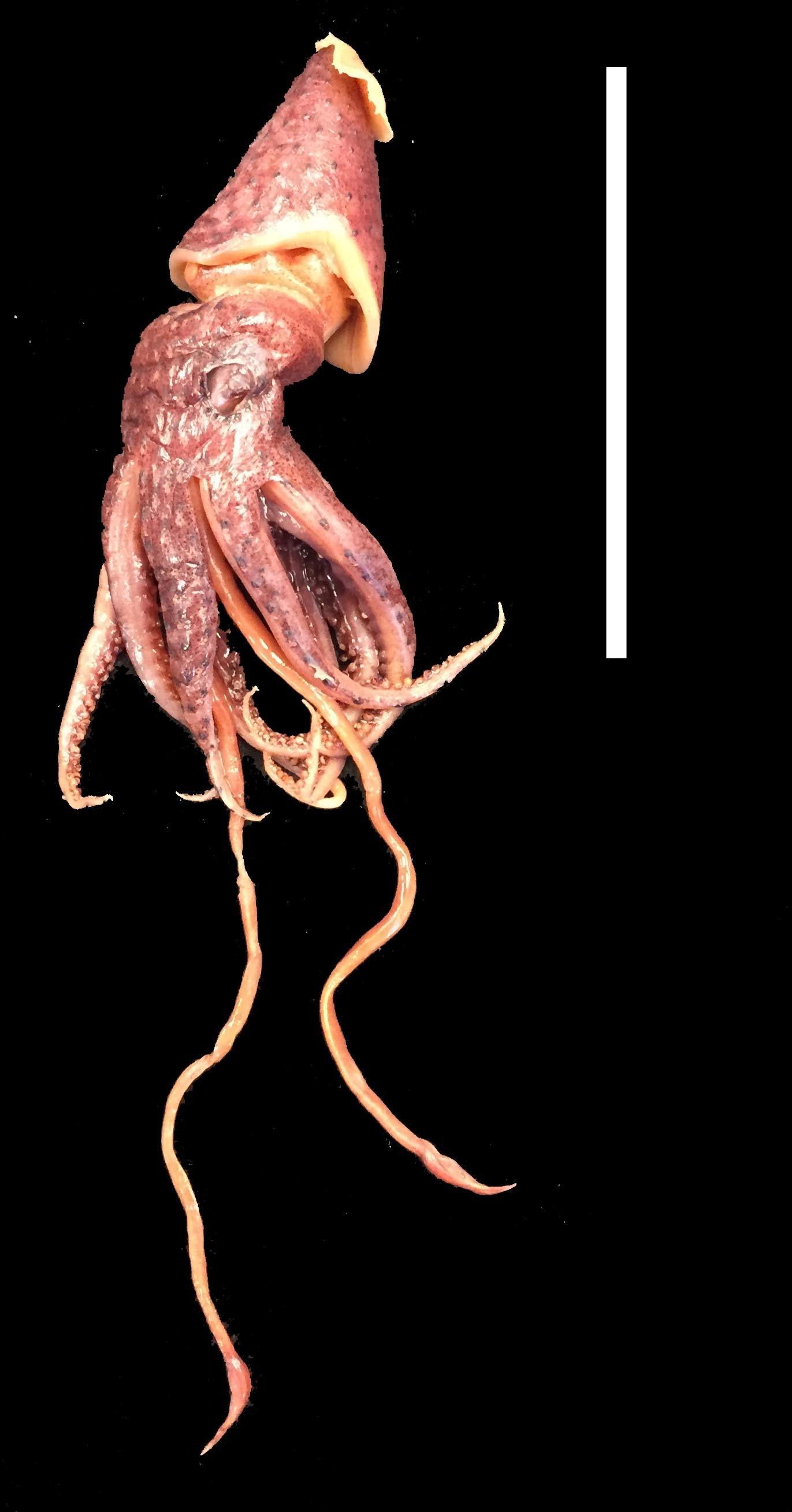 Image of <i>Histioteuthis corona</i> (Voss & Voss 1962)