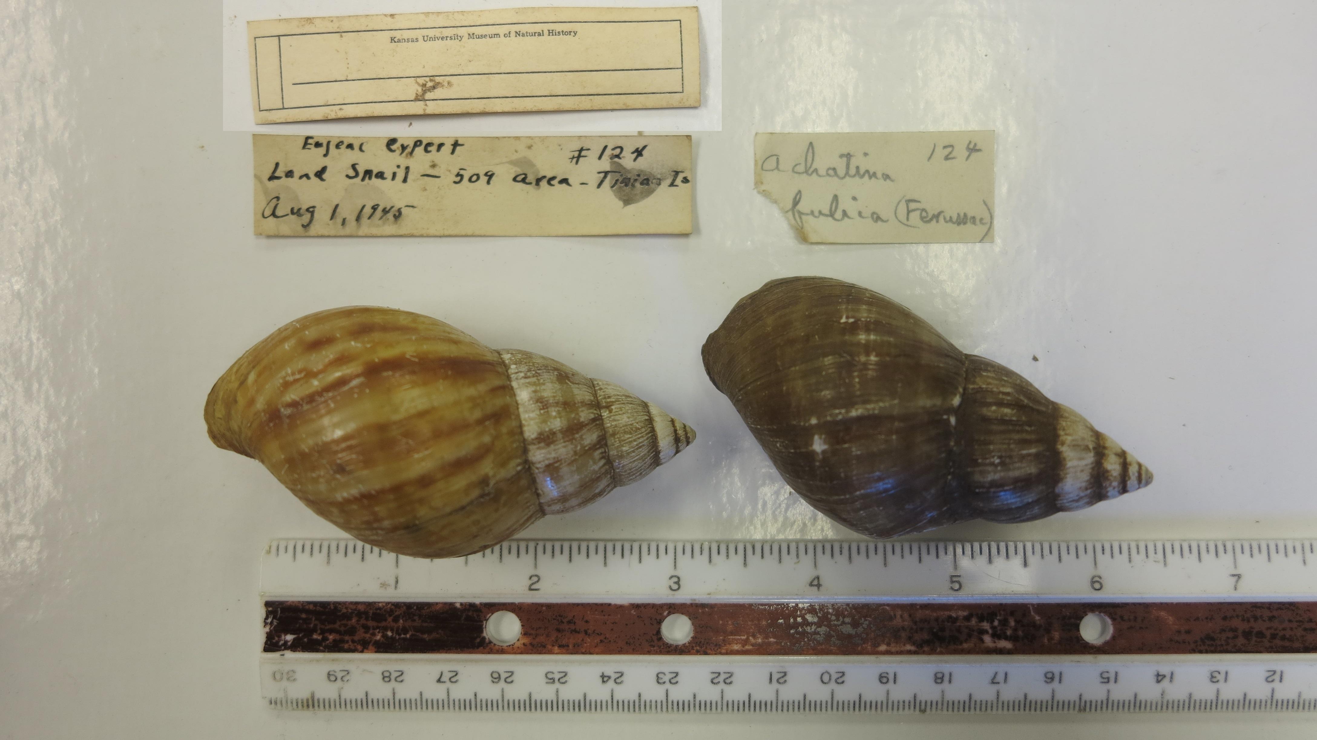 Image of <i>Achatina fulica</i> (Bowdich 1822)