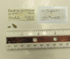 Image of <i>Prosopeas javanicum</i> Reeve