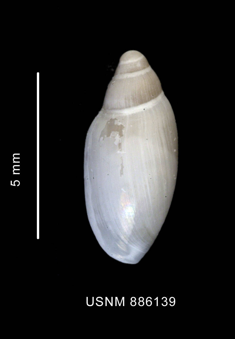 Image of <i>Marginella hyalina</i> Thiele 1912