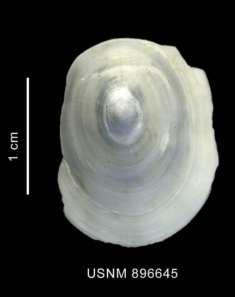 Image of <i>Cocculina superba</i> Clarke 1960