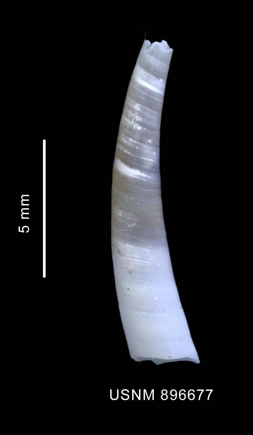 Image of <i>Cadulus</i> (<i>Polyschides</i>) <i>dalli antarcticus</i> Odhner 1931