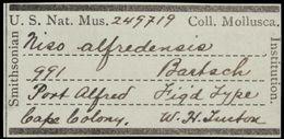 Image of <i>Niso alfredensis</i> Bartsch 1915