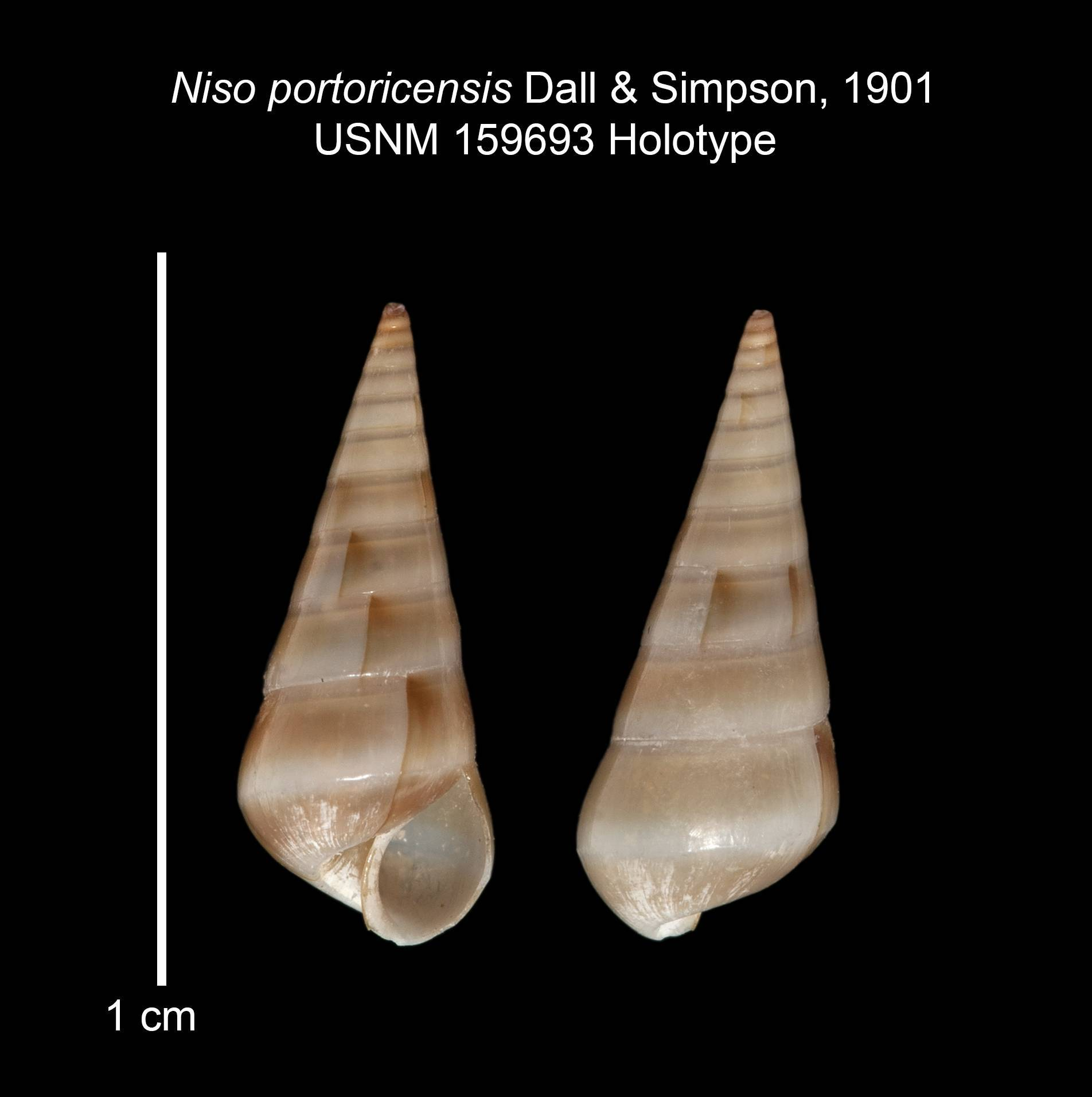 Image of <i>Niso portoricensis</i> Dall & Simpson 1901