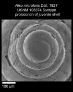 Image of <i>Niso microforis</i> Dall 1927
