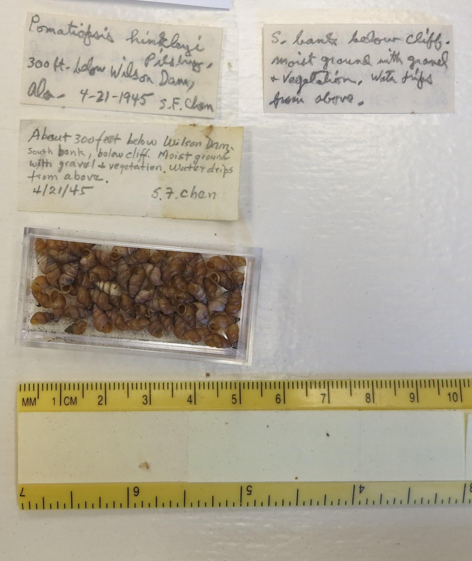 Image of <i>Pomatiopsis hinkleyi</i> Pilsbry 1896