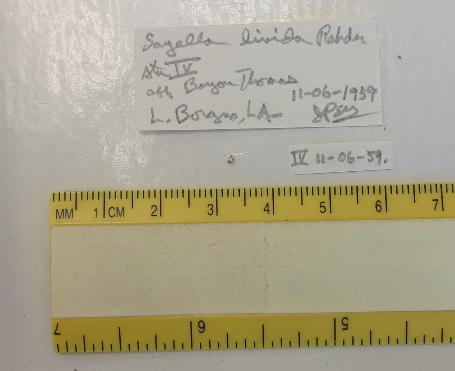 Image of <i>Leuconia hemphillii</i> Dall 1884