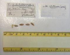 Image of <i>Truncatella caribaeensis</i> Reeve 1842