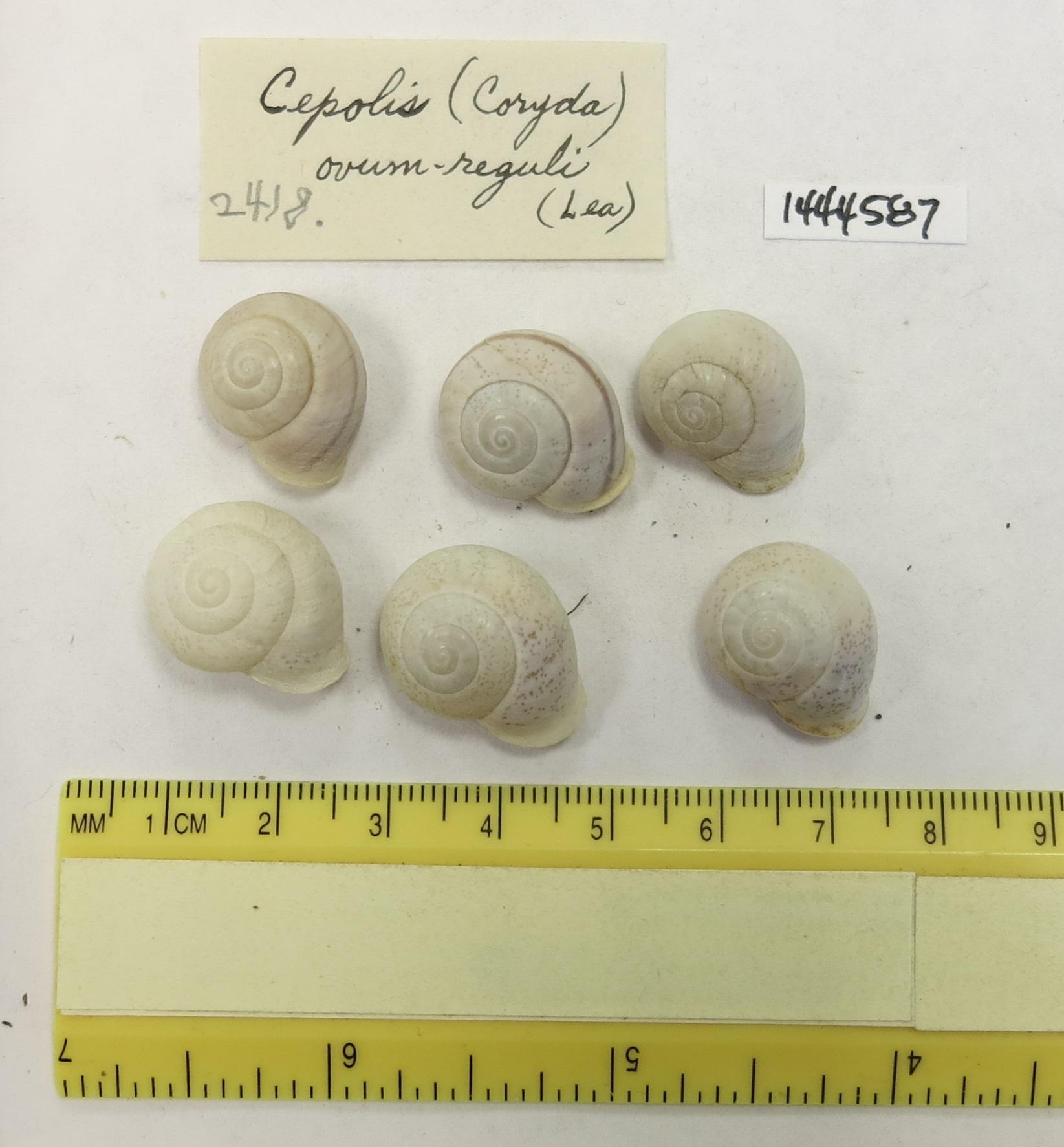Image of <i>Coryda ovumreguli</i> (Lea 1831)