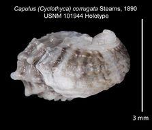 Image of <i>Capulus corrugata</i> Stearns
