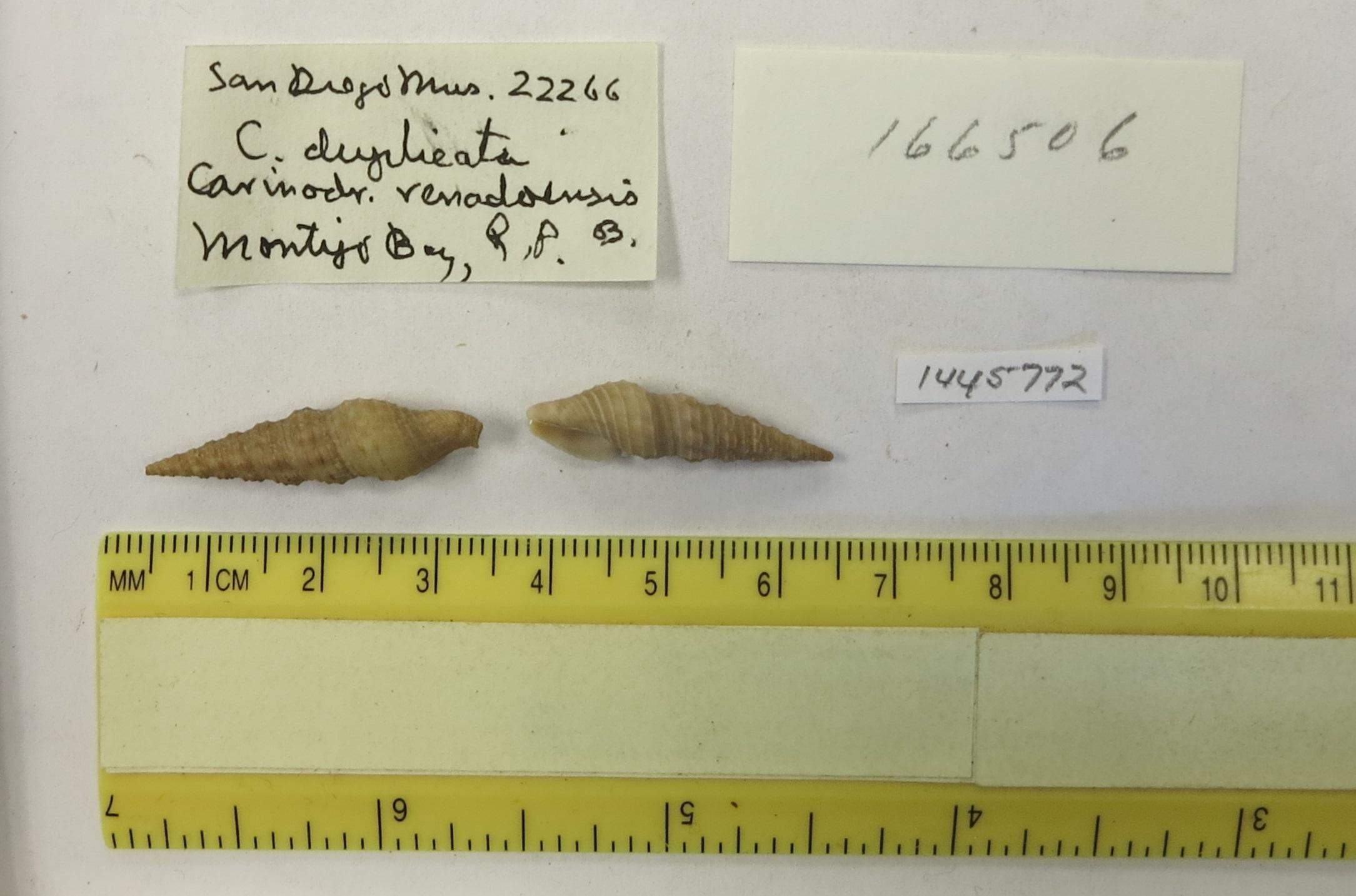 Image of <i>Compsodrillia haliostrephis</i> (Dall 1889)