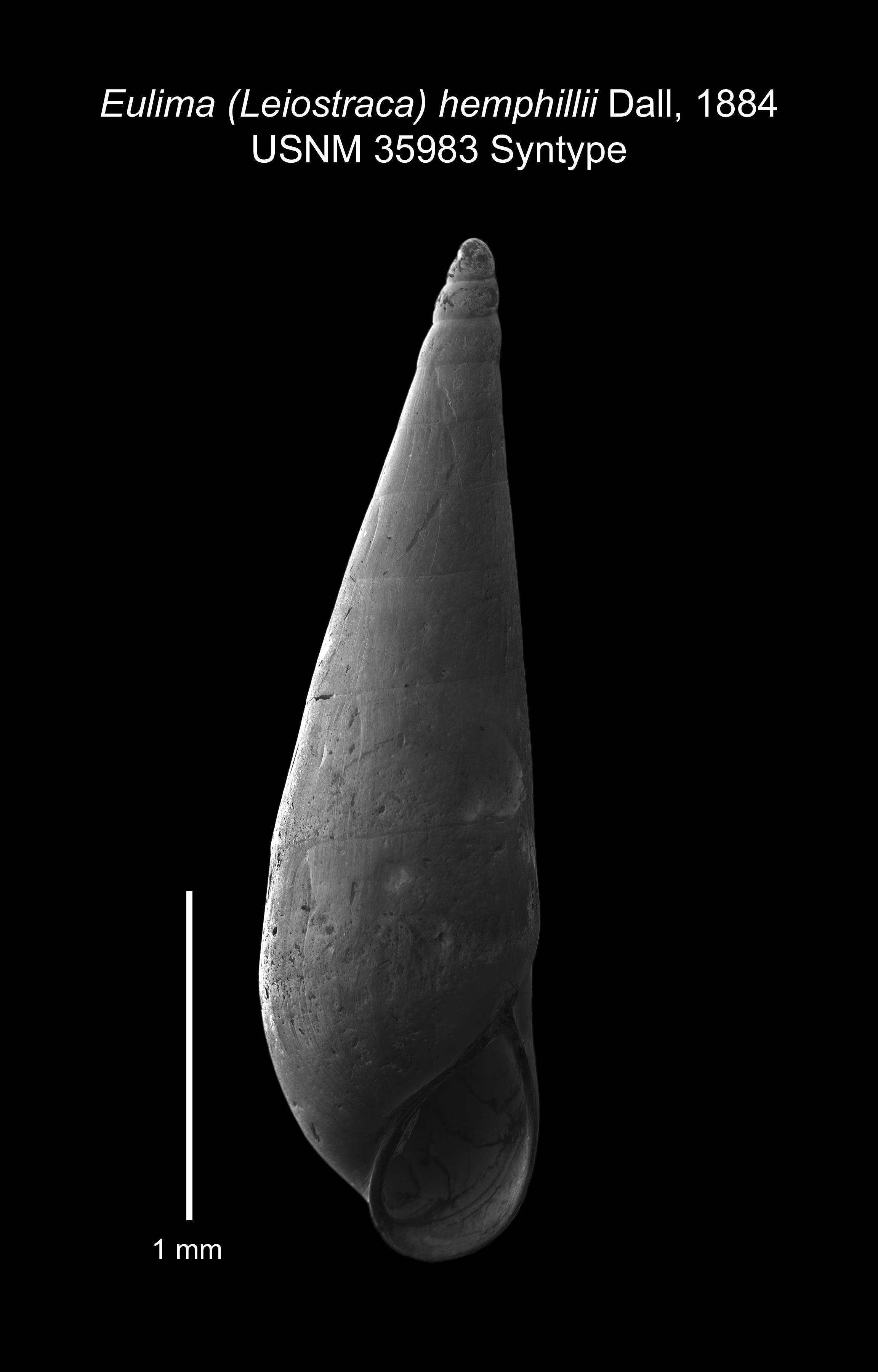 Image of <i>Eulima</i> (<i>Leiostraca</i>) <i>hemphillii</i> Dall 1884