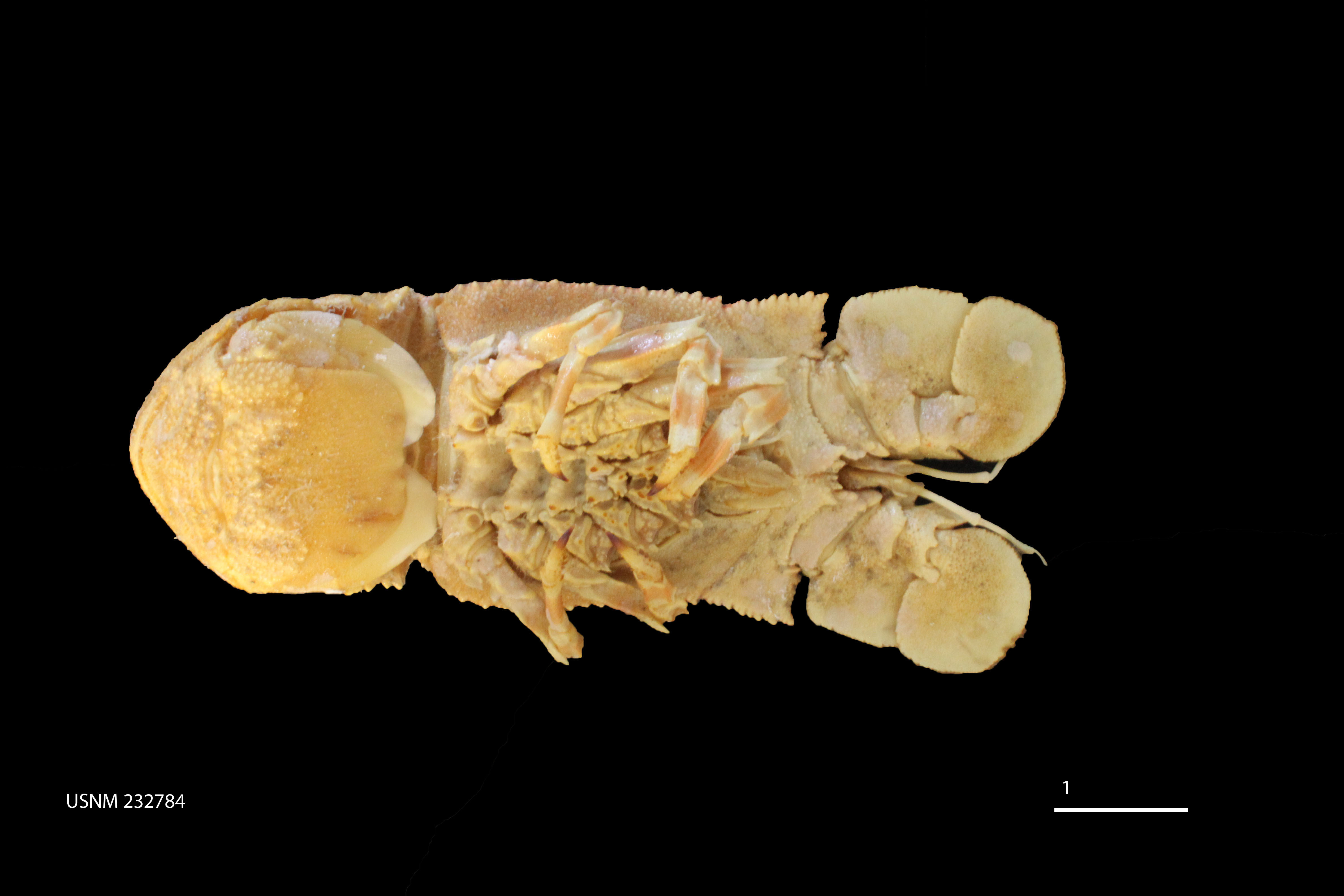 Image of ridged slipper lobster