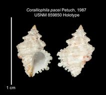 Image of <i>Coralliophila pacei</i> Petuch 1987