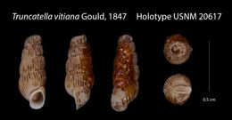 Image of <i>Truncatella vitiana</i> Gould 1847
