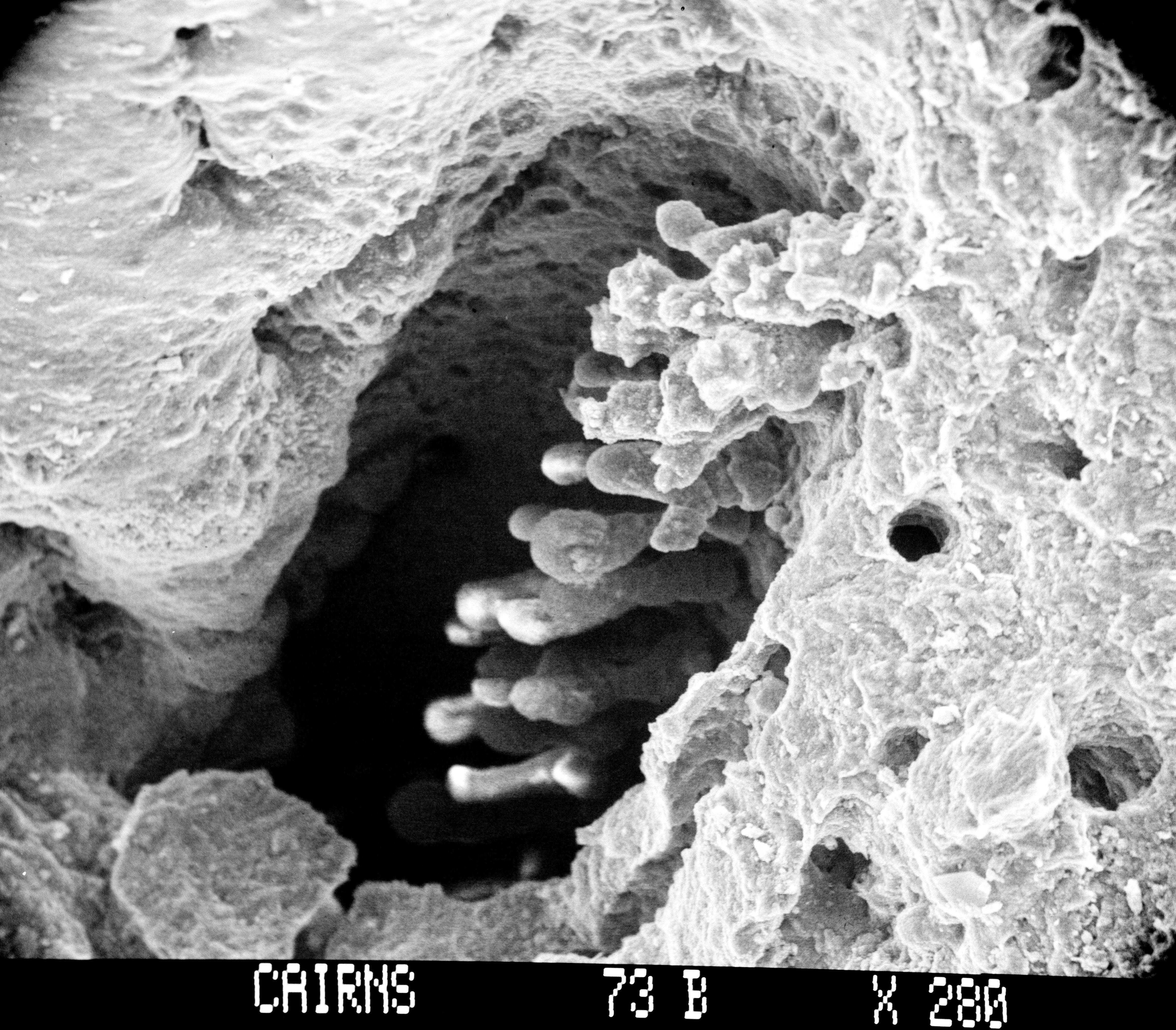 Image of <i>Allopora robusta</i> Cairns 1983