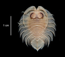 Image of <i>Ceratoserolis trilobitoides</i> (Eights 1833)