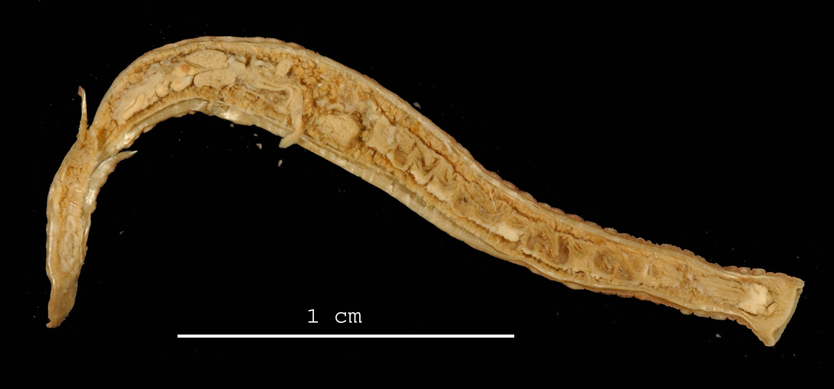 Image of <i>Mooreobdellina rugosa</i> Moore 1938