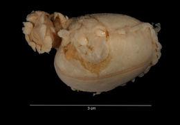 Image of <i>Amperima velacula</i> Agatep 1967