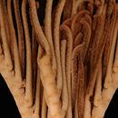 Image of <i>Feracrinus heinzelleri</i> Bohn 2012