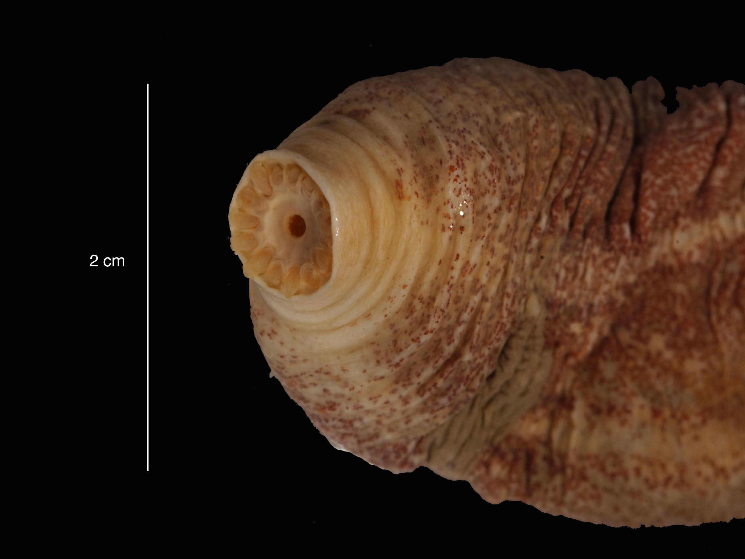 Image of muscular fusiform sea cucumber