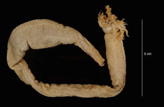 Image of <i>Paracucumis turricata</i> (Vaney 1906)