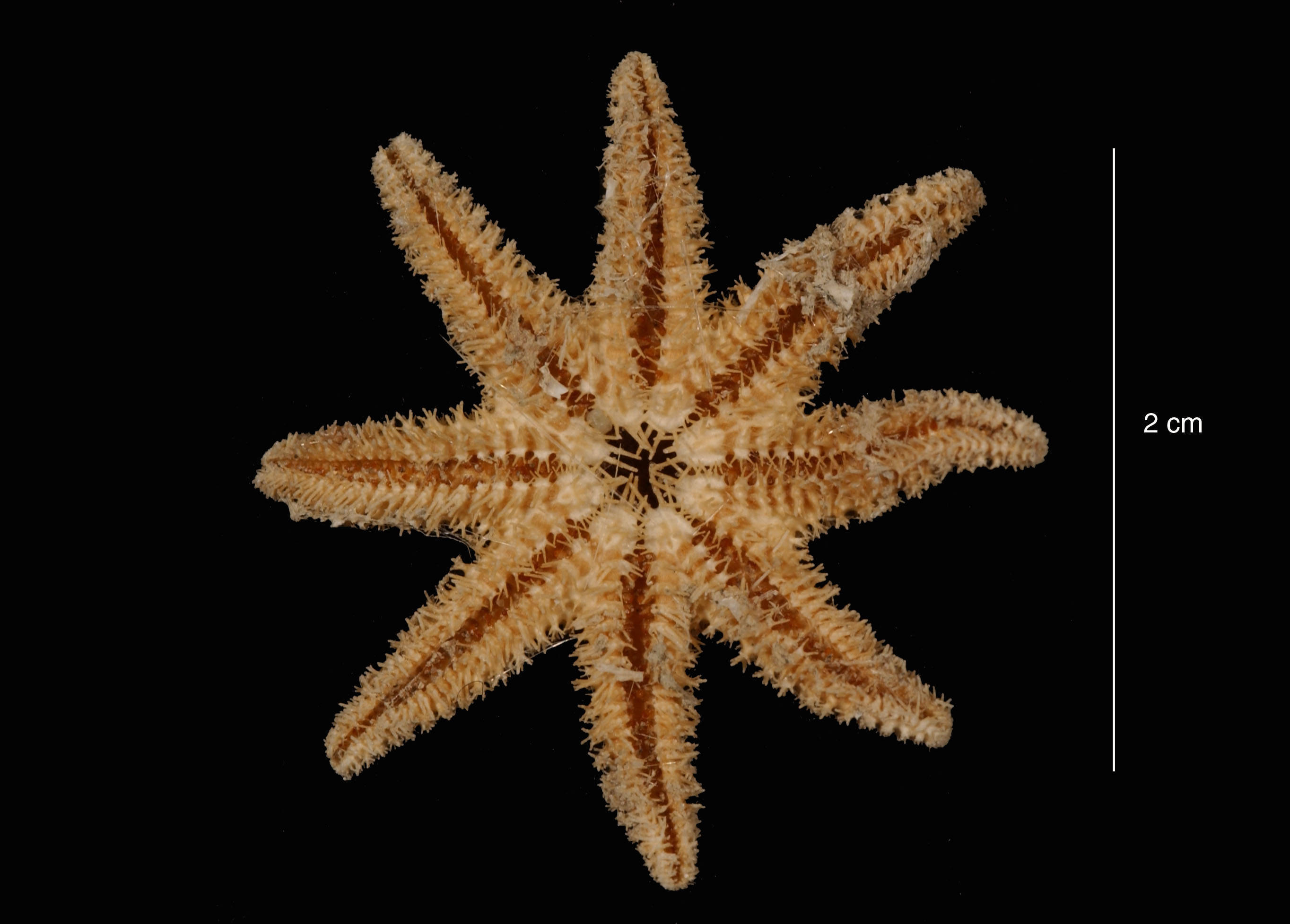 Image of <i>Solaster regularis subarcuatus</i> Sladen 1889