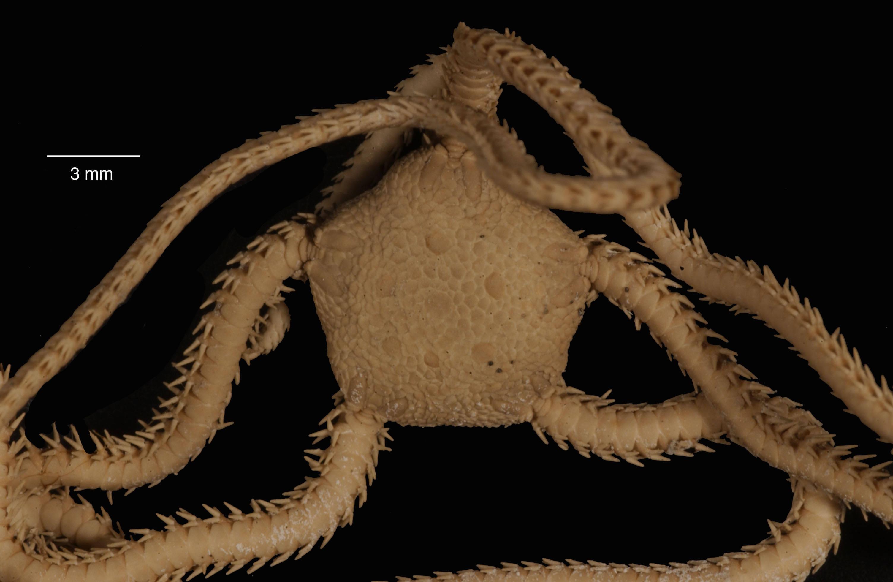 Image of <i>Amphioplus peregrinator</i> (Koehler 1912)