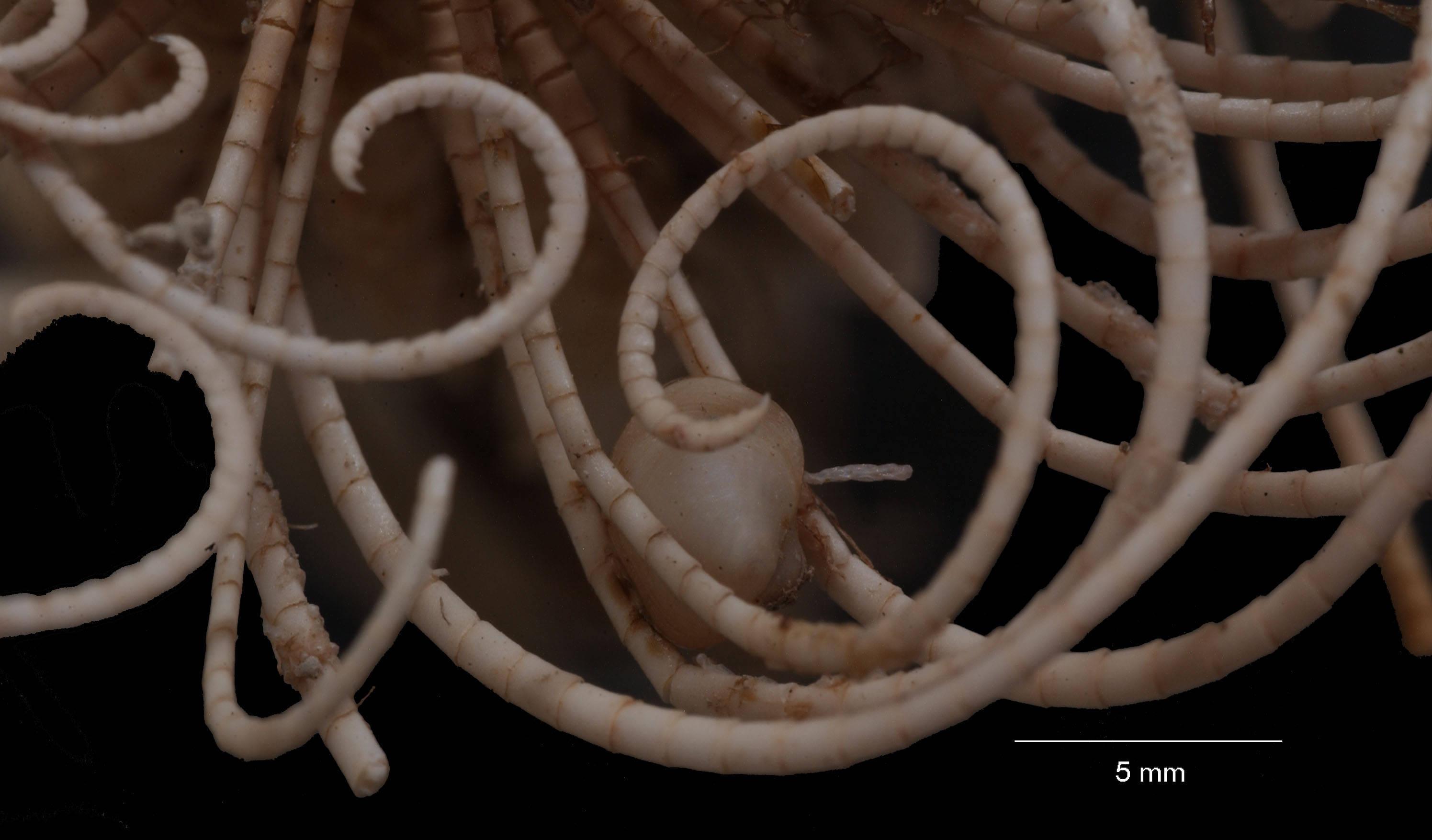 Image of <i>Anthometra adriani</i> (Bell 1908)