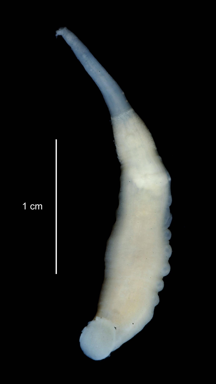 Image of <i>Trachelobdella australis</i> (Blanchard 1900)