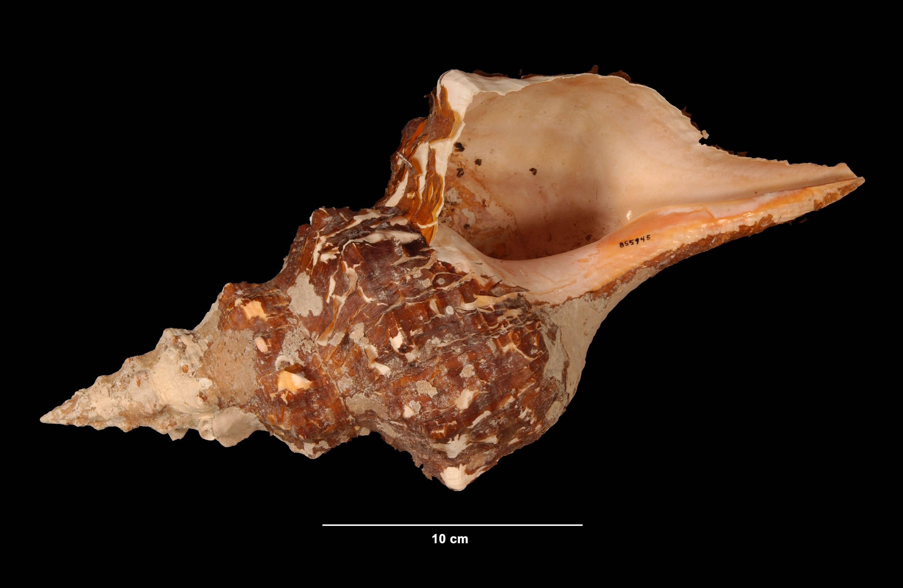 Image of <i>Pleuroploca gigantea</i> (Kiener 1840)