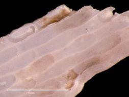 Image of <i>Smittina oblongata</i> Rogick 1956