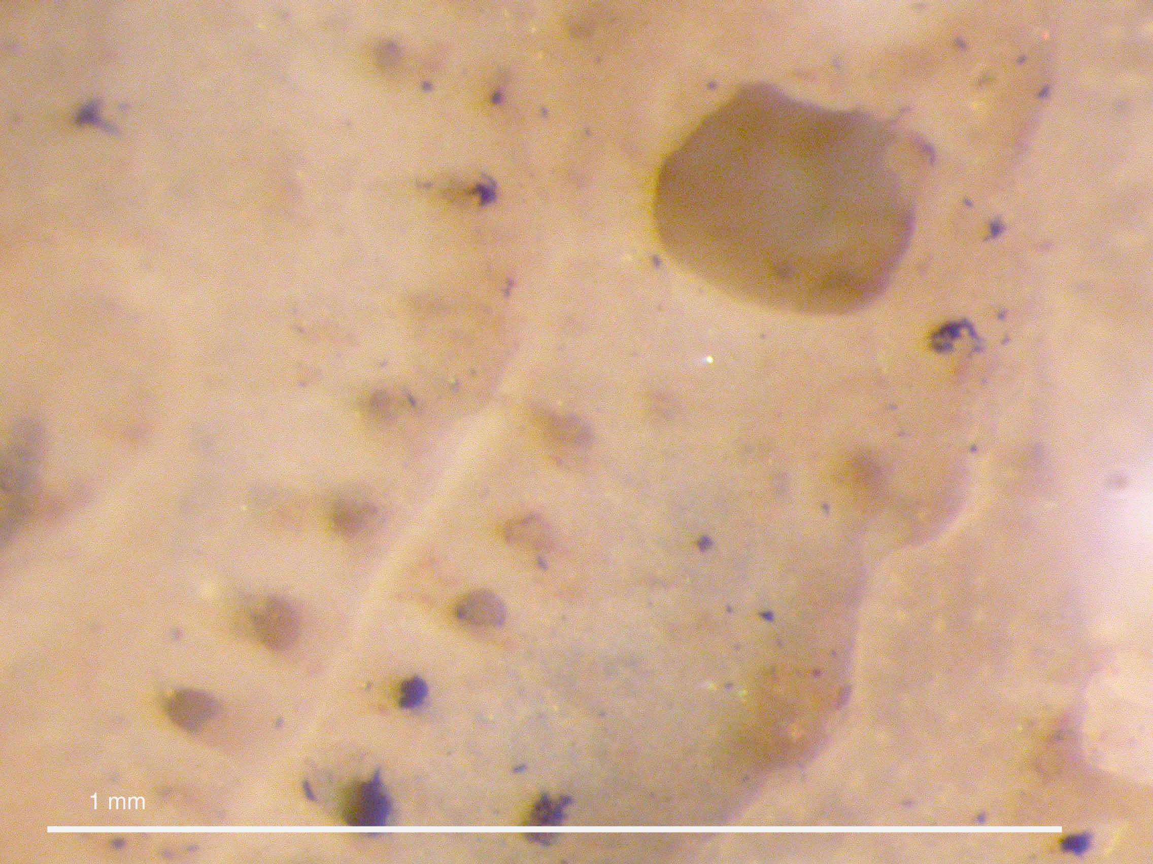Image of <i>Smittoidea ornatipectoralis</i> Rogick 1956