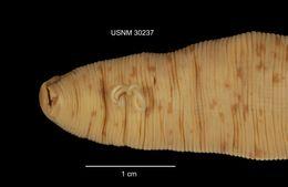 Image of <i>Percymoorensis marmorata</i> (Say 1824)